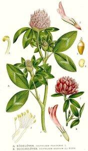 327_Trifolium_medium,_Trifolium_pratense