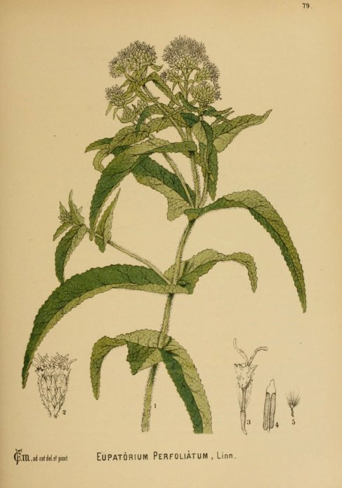 boneset-eupatorium-perfoliatum-red-moon-herbs-5_1024x1024