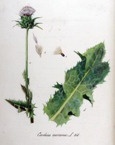 Carduus_marianus_—_Flora_Batava_—_Volume_v11