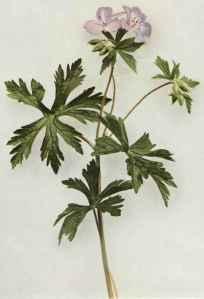 Cranesbill (Geranium)