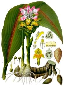 Curcuma_zedoaria_-_K+¦hlerGÇôs_Medizinal-Pflanzen-048