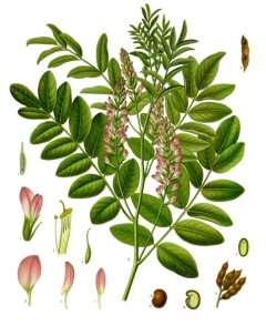 Glycyrrhiza_glabra_-_Köhler–s_Medizinal-Pflanzen-207