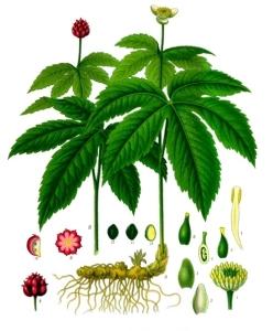 Hydrastis_canadensis_-_Köhler–s_Medizinal-Pflanzen-209