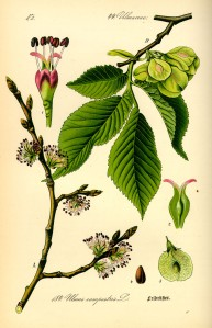 Illustration_Ulmus_carpinifolia0