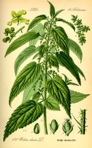 Illustration_Urtica_dioica0
