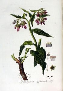 Symphytum_officinale_—_Flora_Batava_—_Volume_v3