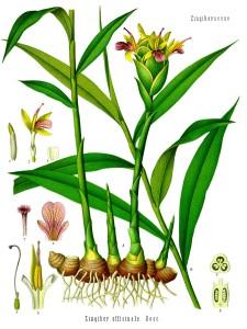 Zingiber_officinale_-_Köhler–s_Medizinal-Pflanzen-146